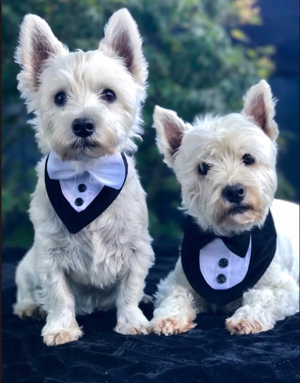 dogs in tuxedoes, cute dogs at wedding, dogs in bowtie